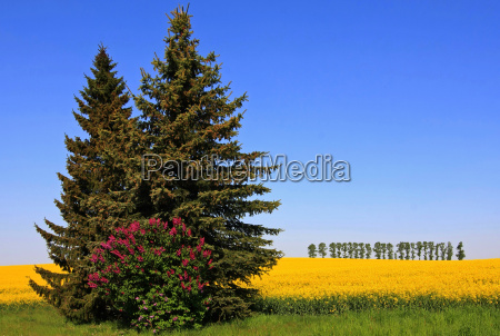 lilac and rapeseed