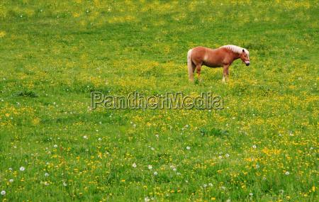 haflinger on flower meadow