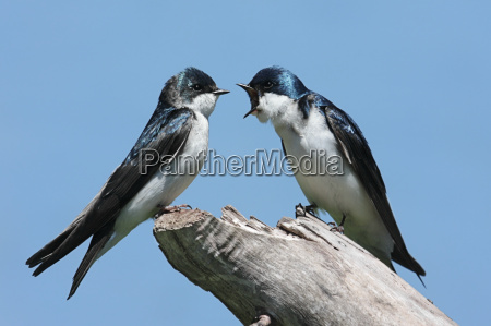 pair of tree swallows on a
