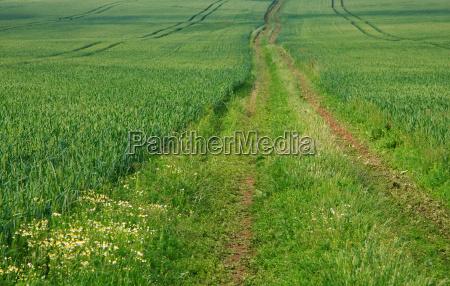 way through the wheat