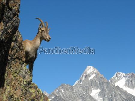ibex near chamonix france