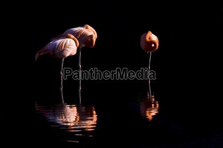 cuba flamingos in the evening light