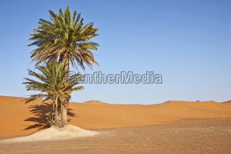 date palms in sand dunes