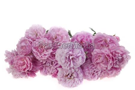 rosa rosen isoliert auf weiss