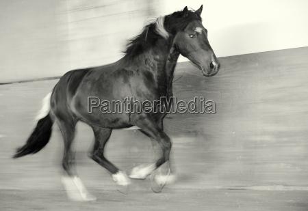 horse galloping stallion