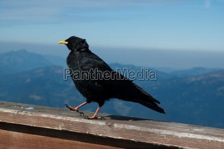 running alpine sole bird