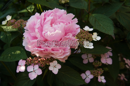 pink peony and lacecap hydrangea flowers