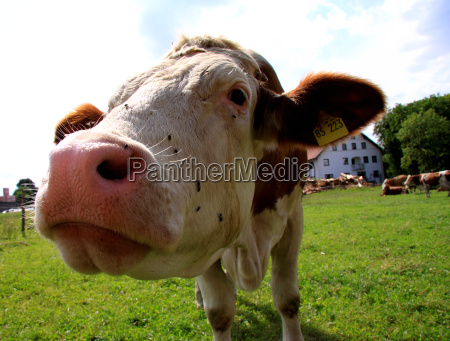 curious cow on pasture ii