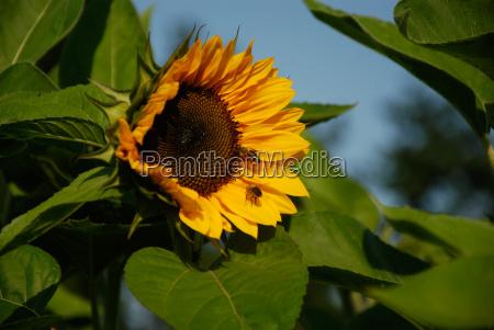 suns flower