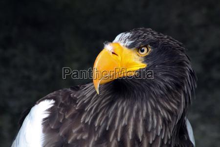 giant sea eagle
