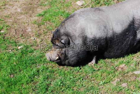 animal pet mammal farm animal grey