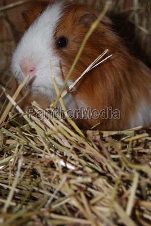 animal pet mammal rodent guinea pig
