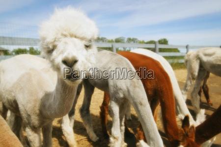 group of llamas eating