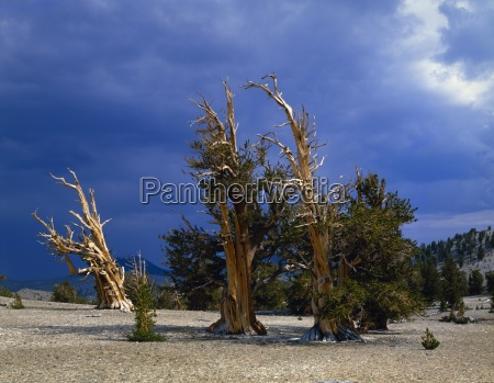 a grove of bristlecone pines inyo