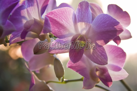 orchids in backlight with aquarel effect