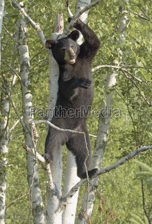 black bear cub standing in tree
