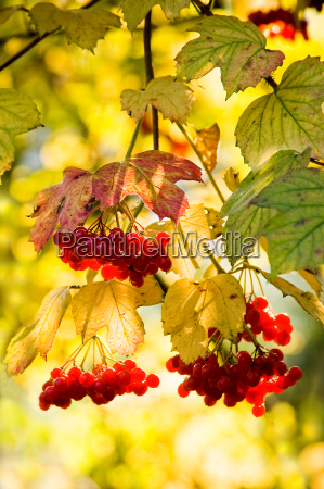guelder rose or snowball tree in