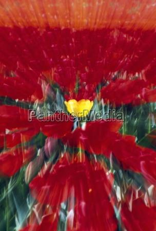 tulip field zoom effect