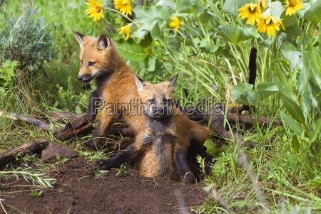 baby foxes at den site