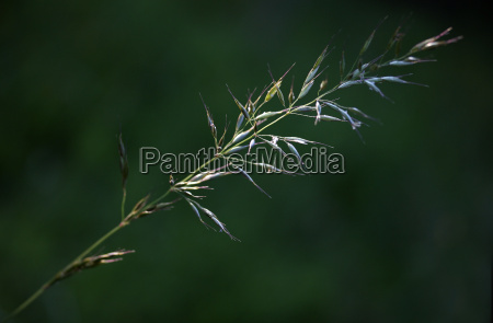 blade of grass in the light