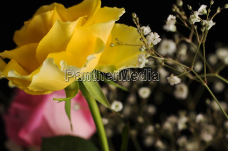 yellow rose on black background