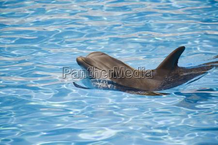 flaske nosed delfin