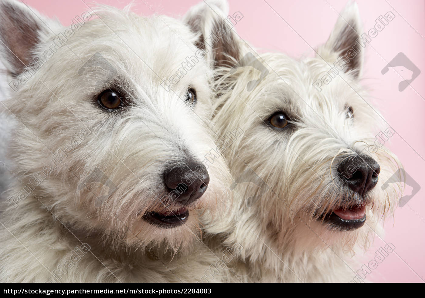 two, west, highland, terrier, dogs, in - 2204003