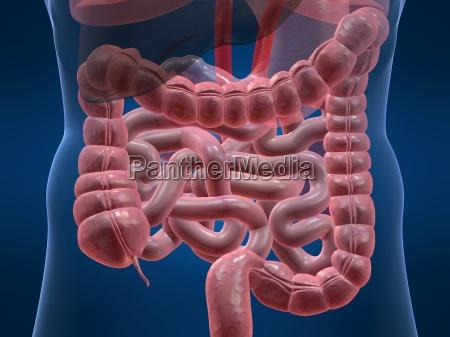 colon and small intestines