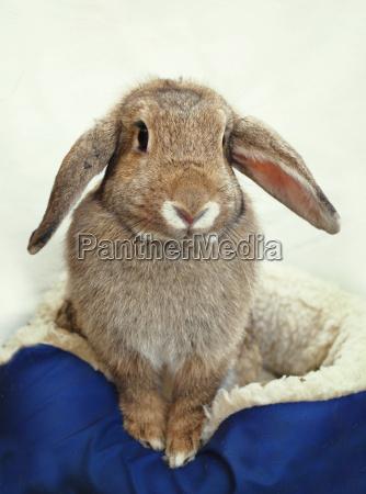 aries rabbit
