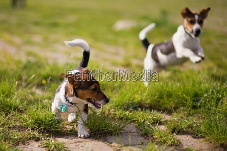 playing, dogs - 2225065