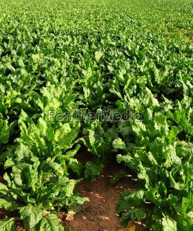 field sugar fruit production acre turnip