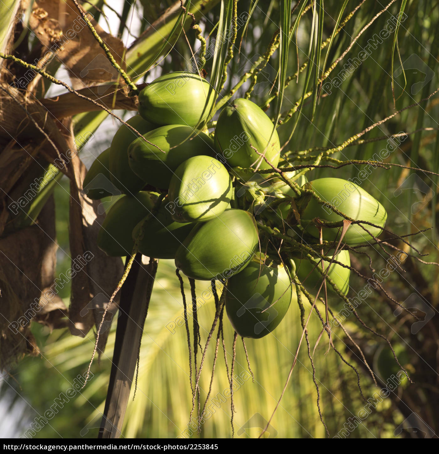coconuts, growing, on, tree - 2253845