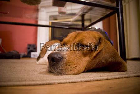 sleepy, beagle - 2261173