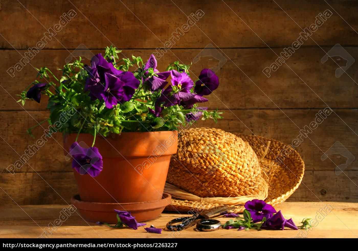 pruning, purple, pansies - 2263227