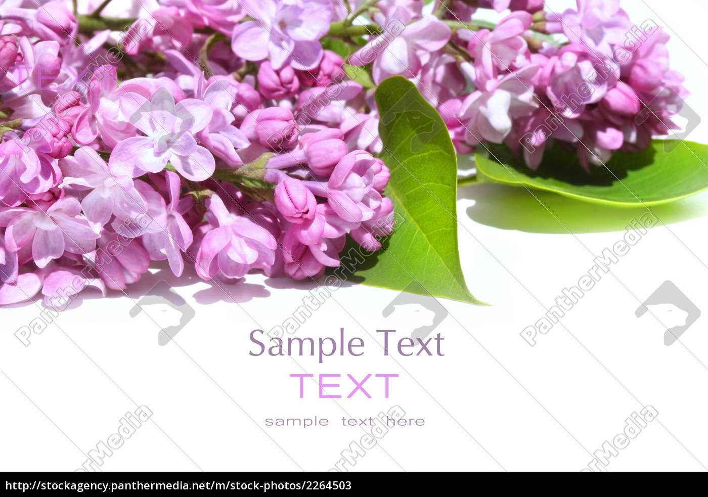 lilac, flowers, isolated, against, white - 2264503