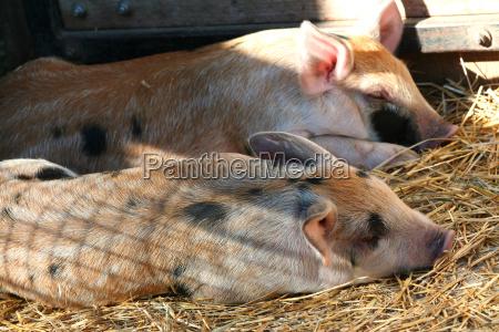 piglets, sleeping - 2264819