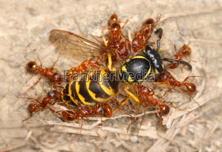 red garden ants with captured wasp