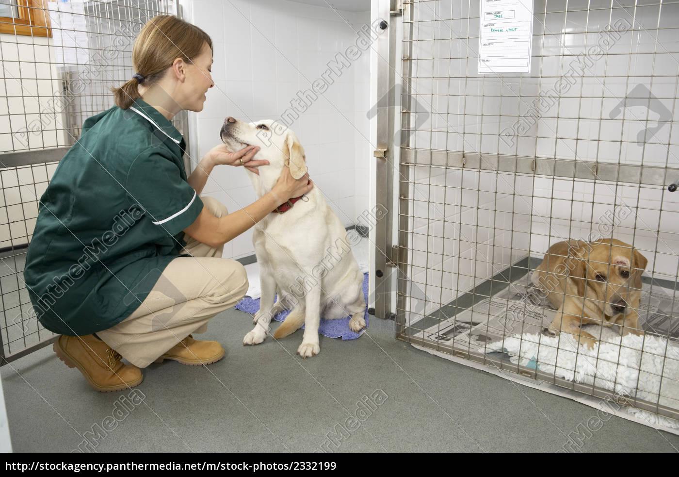 vetinary, nurse, checking, sick, animals, in - 2332199