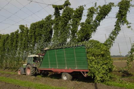 hop, harvest - 2334563