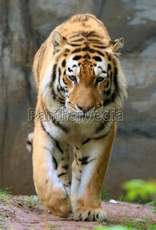 tiger - 2334615