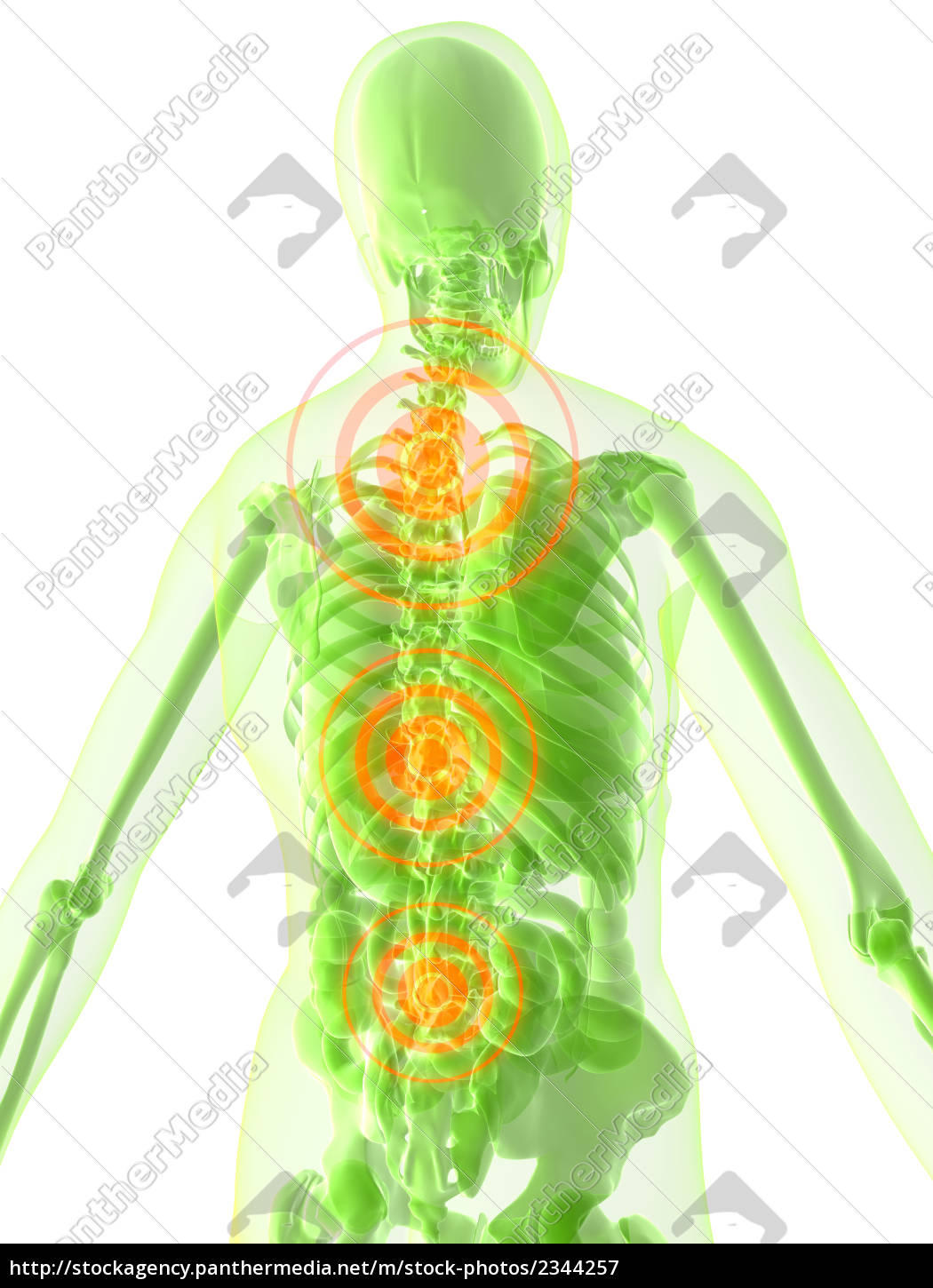 Human Anatomy With Highlighted Spine Royalty Free Image 2344257