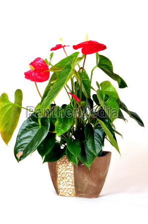 flamingo flower anthurium houseplant