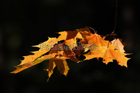 maple leaves in the light
