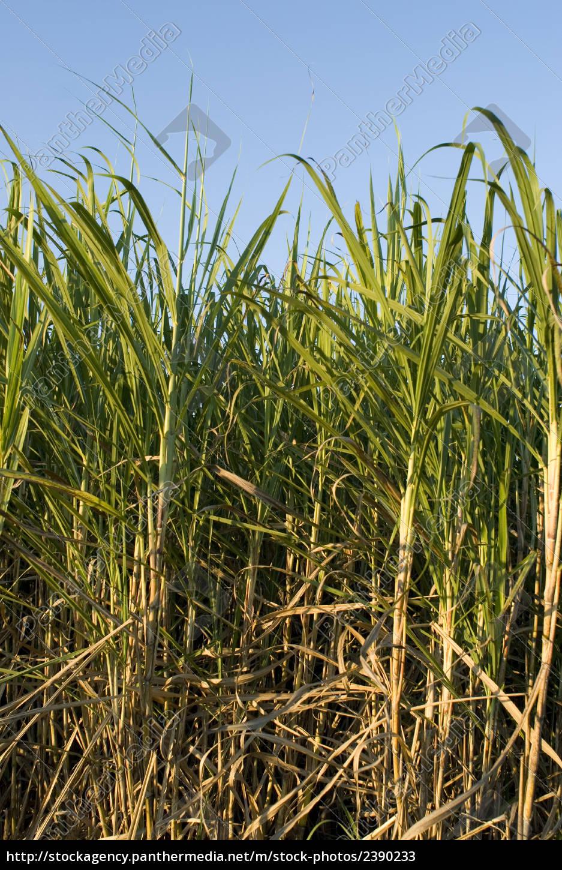 ripe, sugar, cane - 2390233