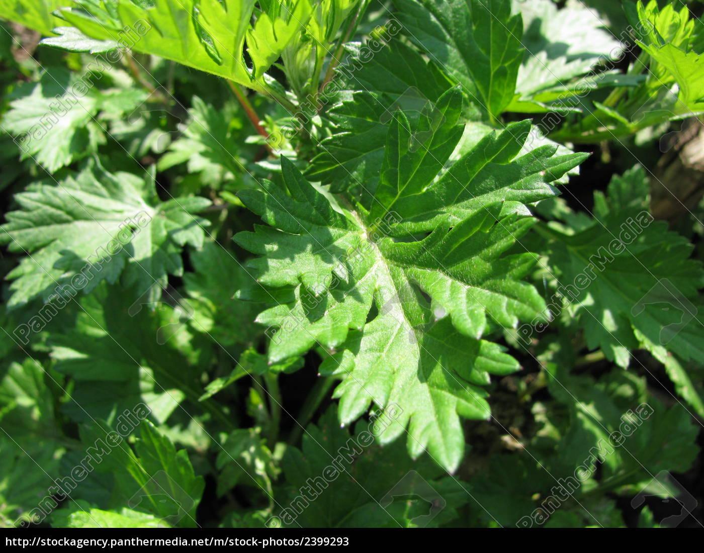 common, mugwort, artemisia, vulgaris - 2399293