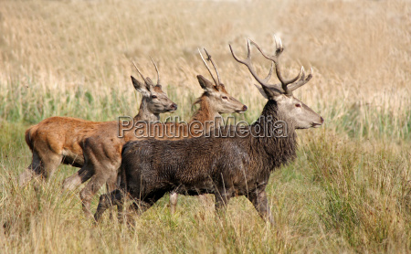 three young red deer