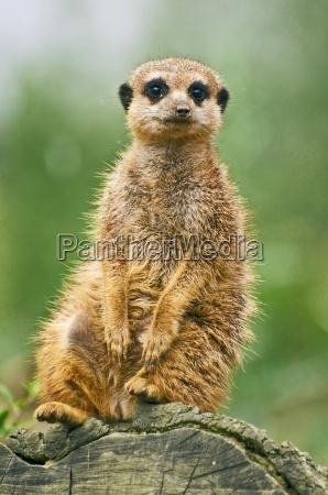 meerkat sitting on a log