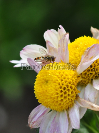 hoverfly on chrysanth dsc 5010 a2
