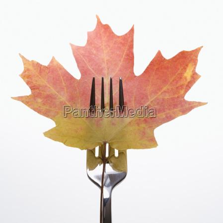 pierced maple leaf