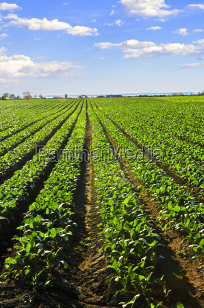 rows of turnip plants in a